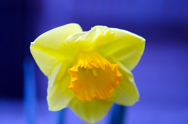 Daffodil by actor212 on Flickr