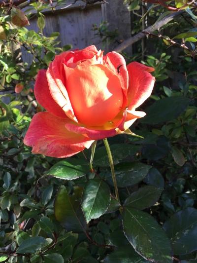 November rose