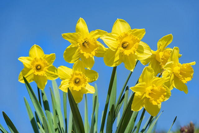 Daffodils and sky by Tambako the Jaguar on Flickr